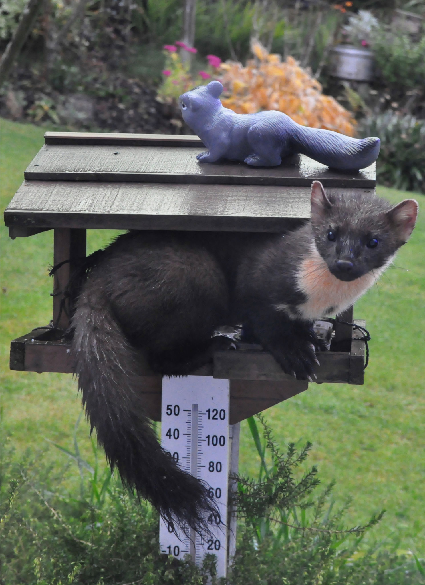 A pine martin in our bird house