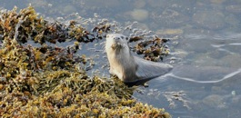 An otter on the foreshore