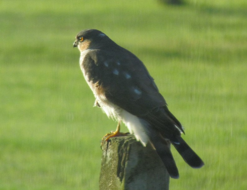 Sparrow Hawk on the front fence